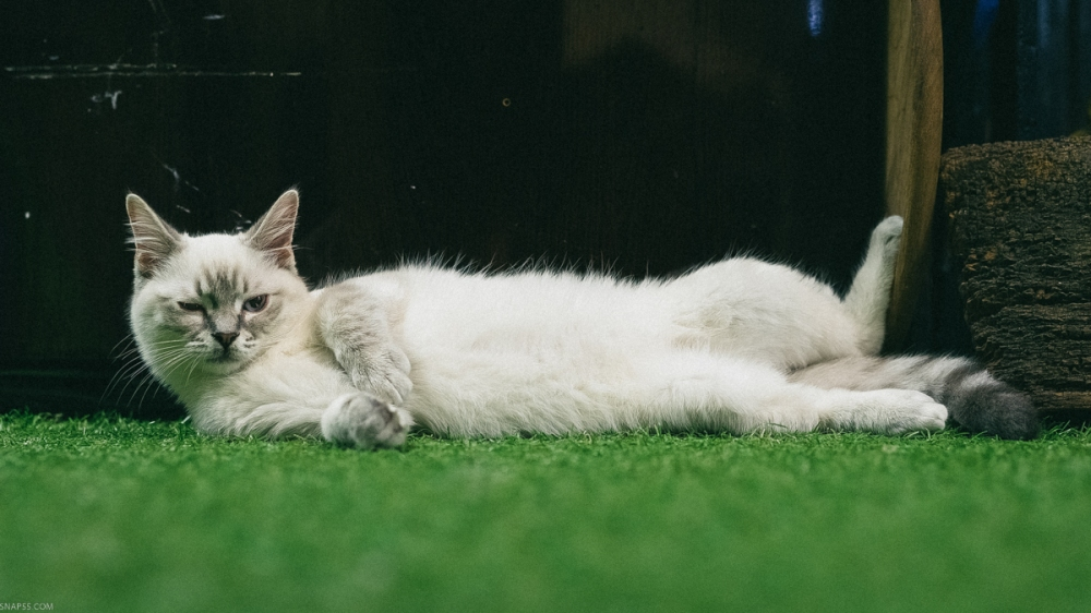 Ragdoll Kitten At The London Cat Village